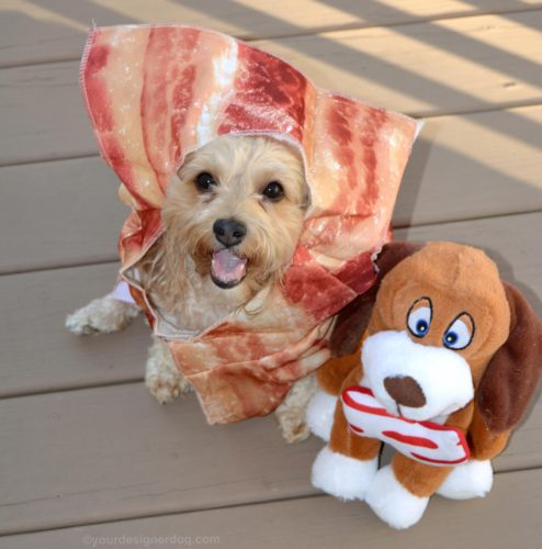 dogs, designer dogs, Yorkipoo, yorkie poo, bacon, dog costume