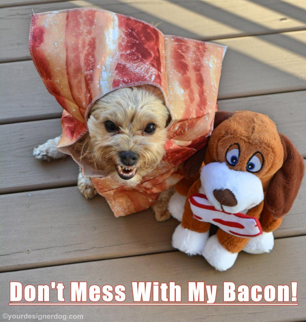 dogs, designer dogs, Yorkipoo, yorkie poo, bacon, dog costume