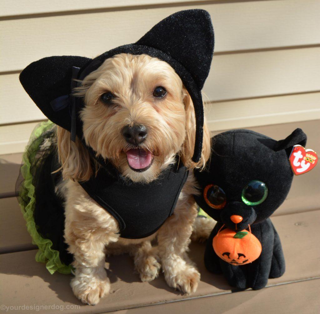 dogs, designer dogs, Yorkipoo, yorkie poo, black cat, dog costume, halloween