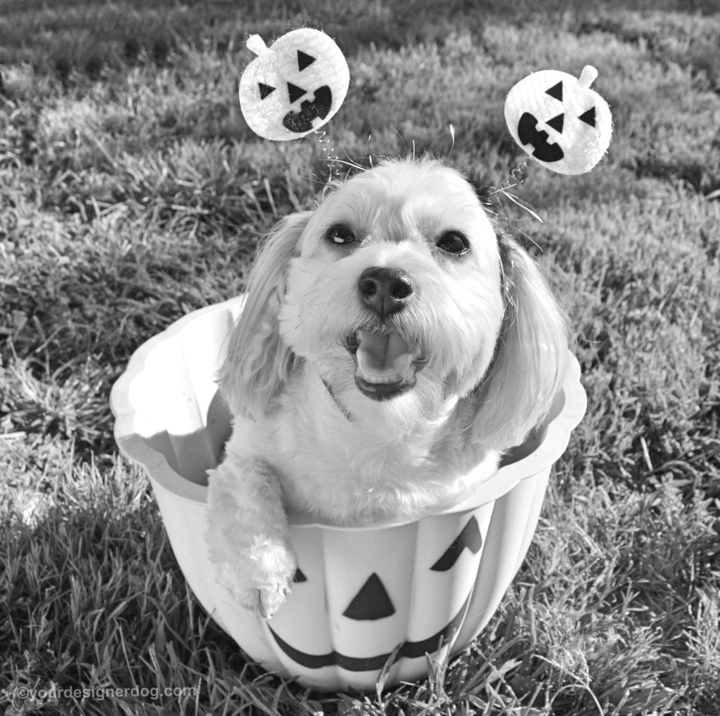dogs, designer dogs, Yorkipoo, yorkie poo, halloween, jack-o-lantern, black and white photography