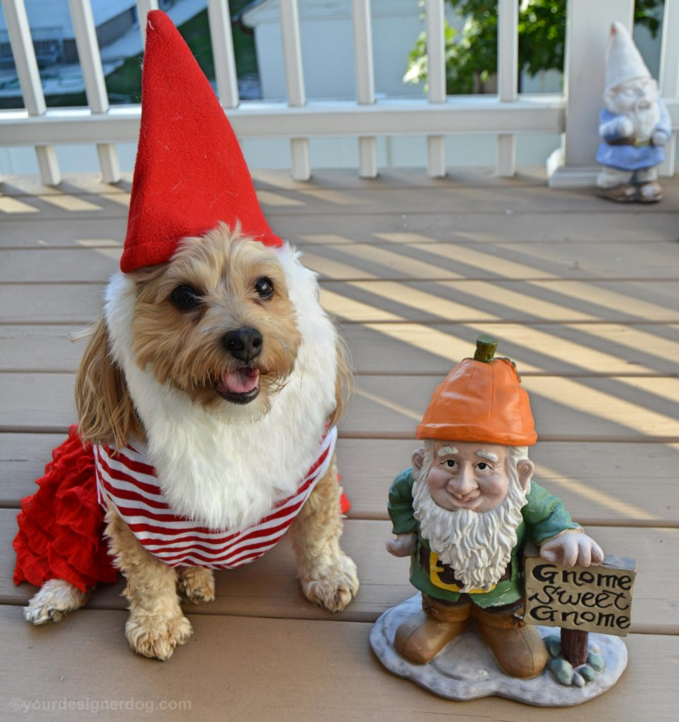 dogs, designer dogs, Yorkipoo, yorkie poo, gnome, dog costume