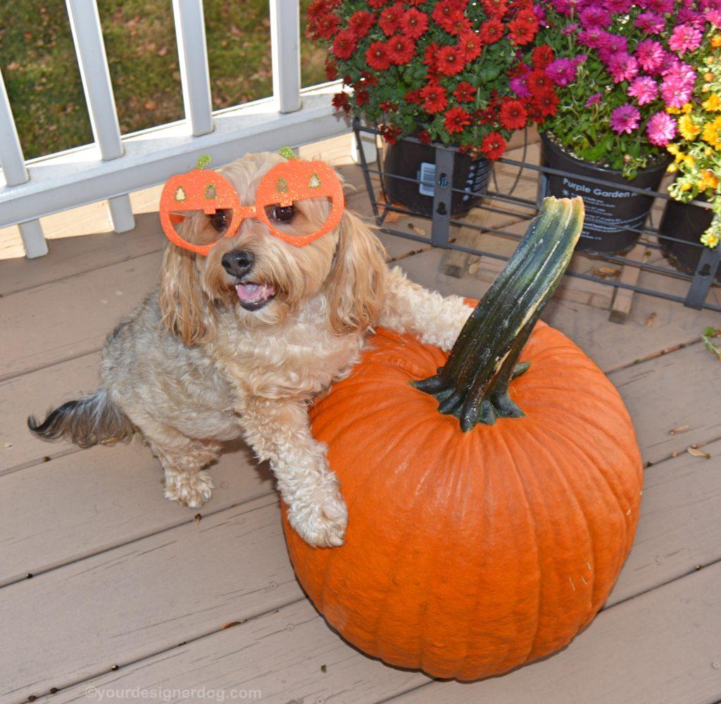 dogs, designer dogs, Yorkipoo, yorkie poo, pumpkin, halloween, fall