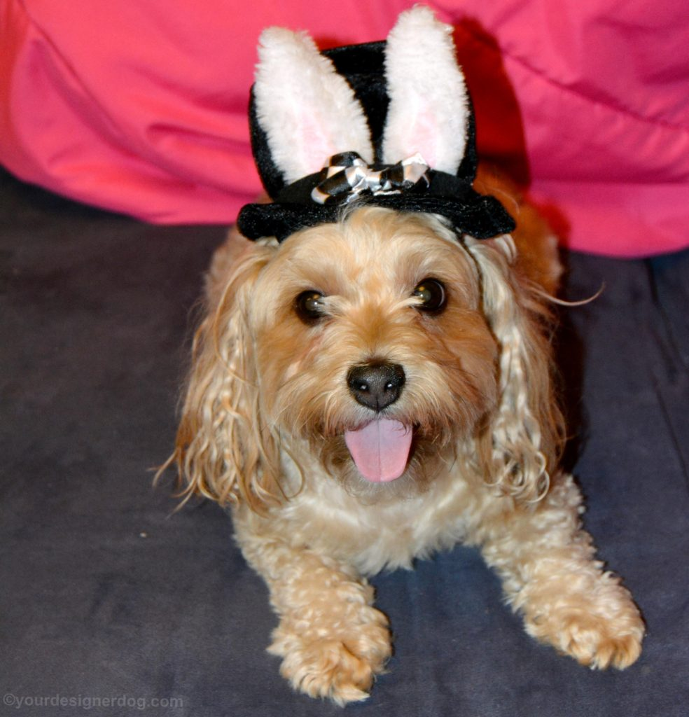 dogs, designer dogs, Yorkipoo, yorkie poo, mad hatter, bunny ears, top hat, dog hat