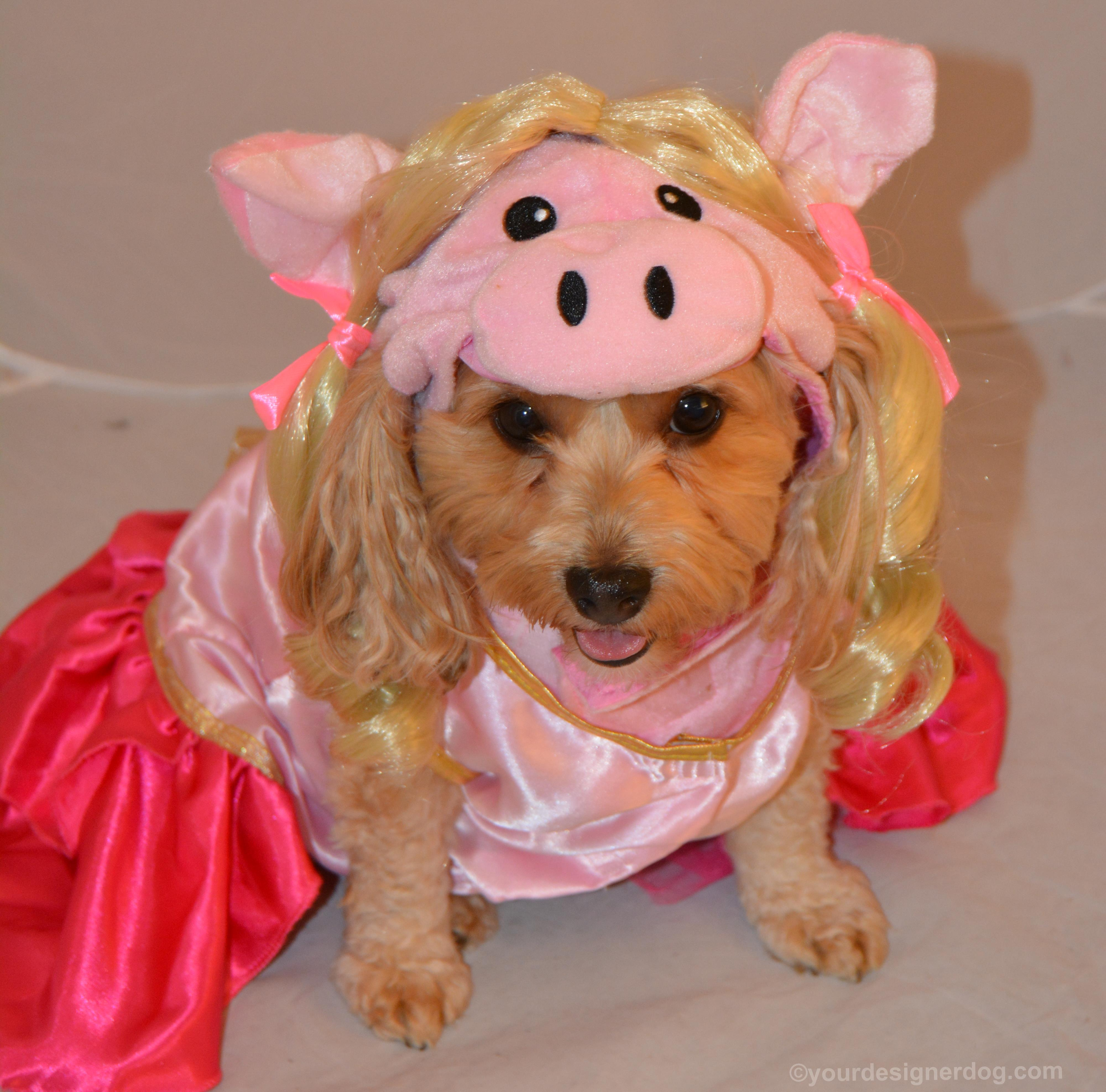 dogs, designer dogs, Yorkipoo, yorkie poo, muppets, miss piggy, Halloween, dog costume, pig costume