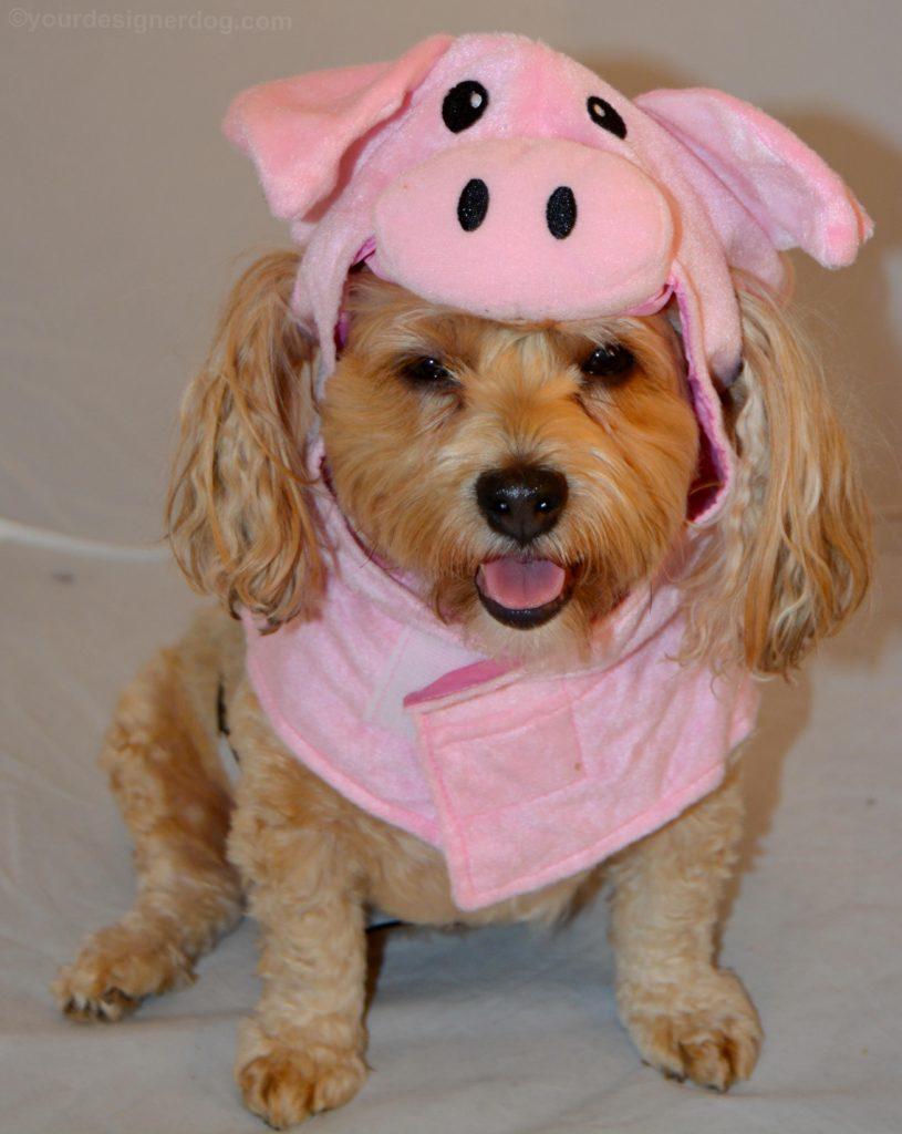 dogs, designer dogs, Yorkipoo, yorkie poo, Halloween, dog costume, pig costume