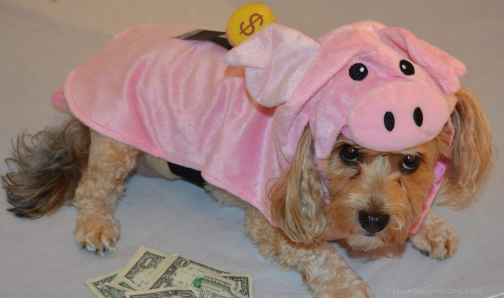 dogs, designer dogs, Yorkipoo, yorkie poo, piggy bank, Halloween, dog costume, pig costume