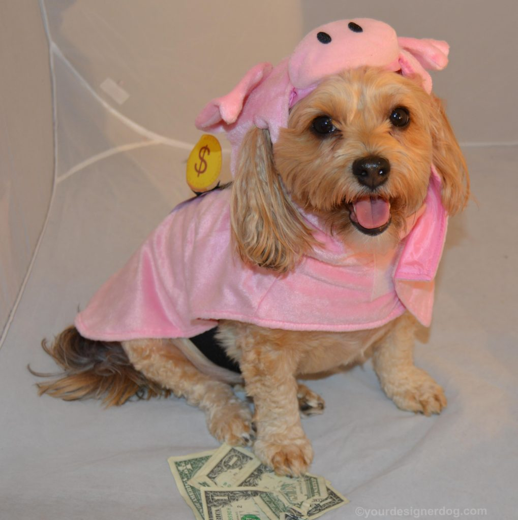 dogs designer dogs Yorkipoo yorkie poo piggy bank Halloween dog & Save Money This Halloween - Re-Purpose an Old Costume! - YourDesignerDog