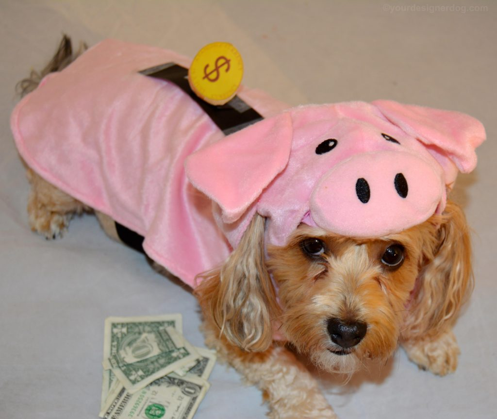 dogs, designer dogs, Yorkipoo, yorkie poo, piggy bank, Halloween, dog costume, pig costume