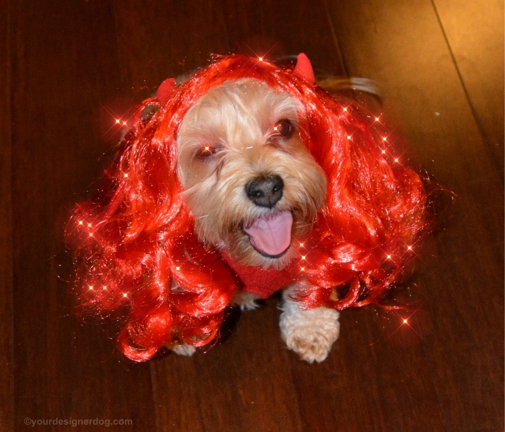 dogs, designer dogs, Yorkipoo, yorkie poo, devil, hellfire, Halloween, tongue out