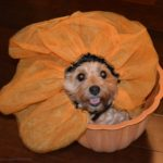 dogs, designer dogs, Yorkipoo, yorkie poo, dog tutu, tongue out, flower pot, dogs with flowers