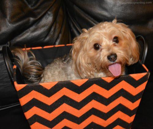 dogs, designer dogs, Yorkipoo, yorkie poo, halloween, storage box, orange and black chevron