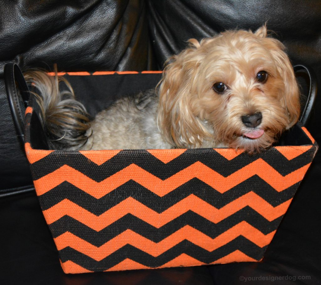 dogs, designer dogs, Yorkipoo, yorkie poo, halloween, storage box, orange and black chevron