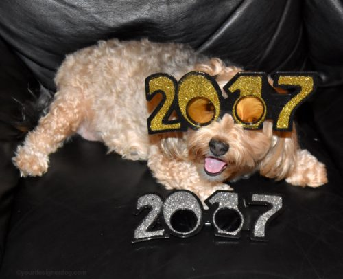 dogs, designer dogs, Yorkipoo, yorkie poo, 2017, new year's, pet blogger challenge, dog smiling