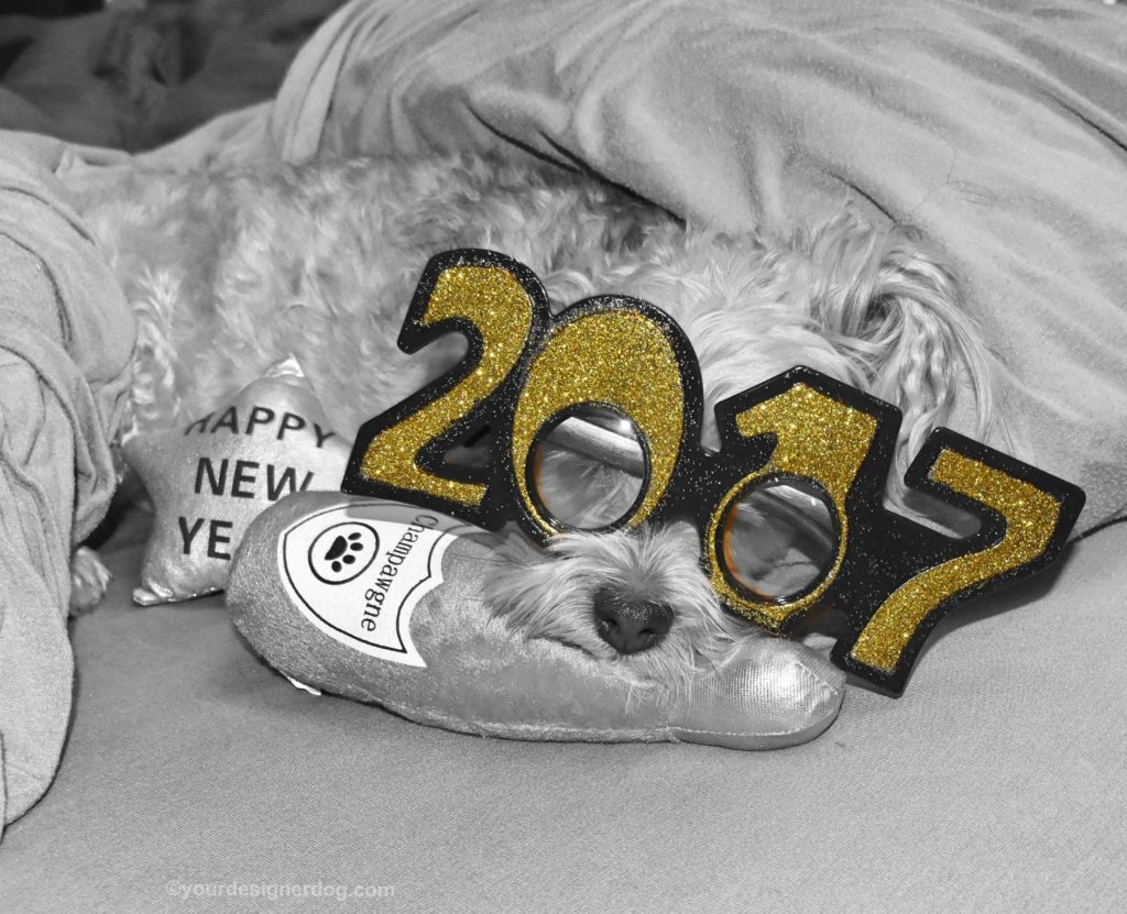 dogs, designer dogs, Yorkipoo, yorkie poo, black and white photography, 2017, champagne, happy new year