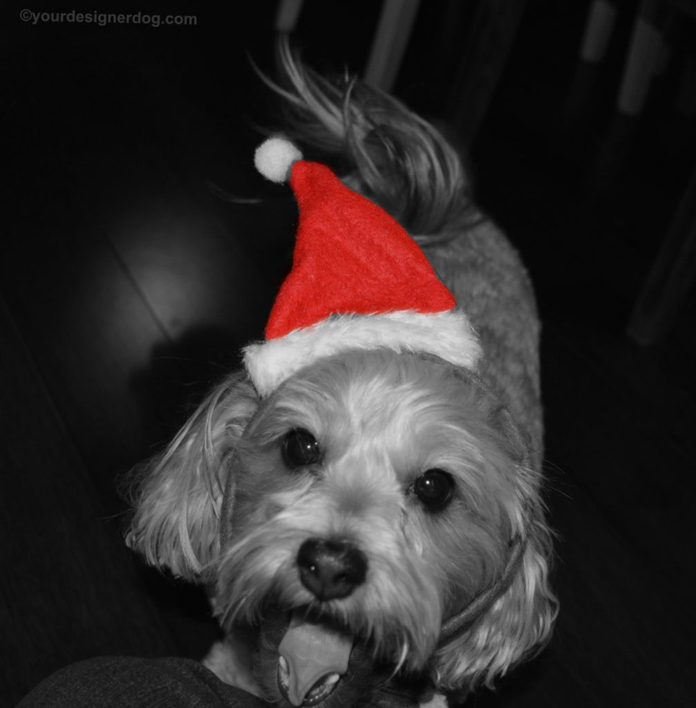 dogs, designer dogs, Yorkipoo, yorkie poo, black and white photography, dog smiling, santa hat, christmas