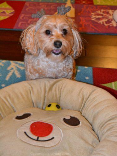 dogs, designer dogs, Yorkipoo, yorkie poo, reindeer, dog bed, dog hat, dog smiling
