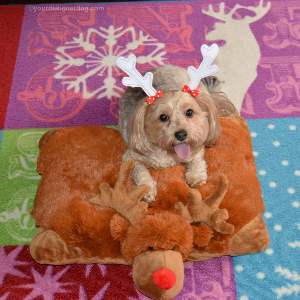 dogs, designer dogs, Yorkipoo, yorkie poo, reindeer, tongue out