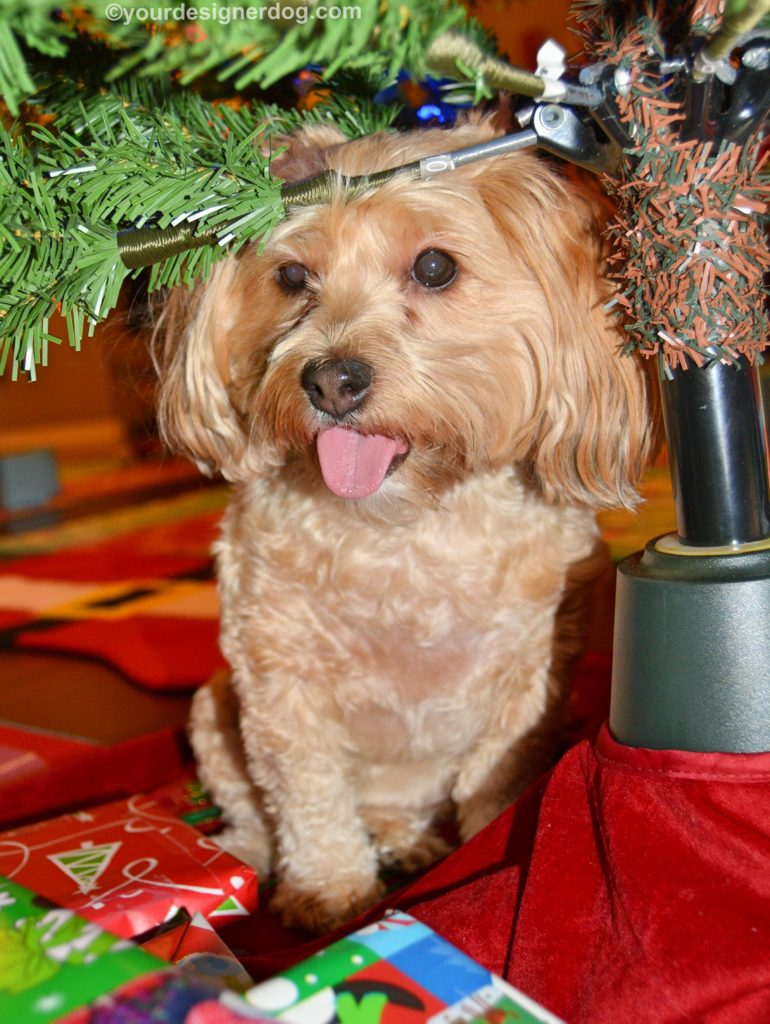 dogs designer dogs, Yorkipoo, yorkie poo, Christmas tree, tongue out