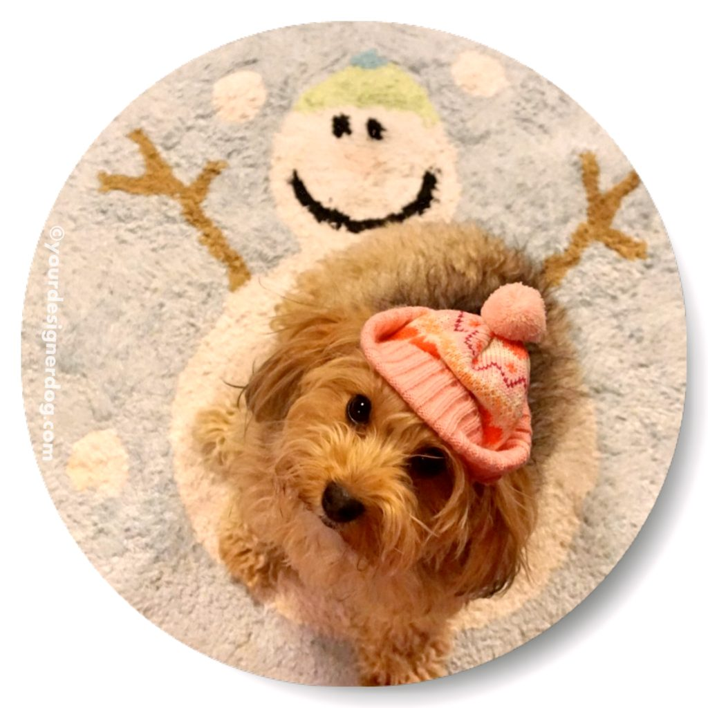 dogs, designer dogs, Yorkipoo, yorkie poo, winter, snowman, winter hat