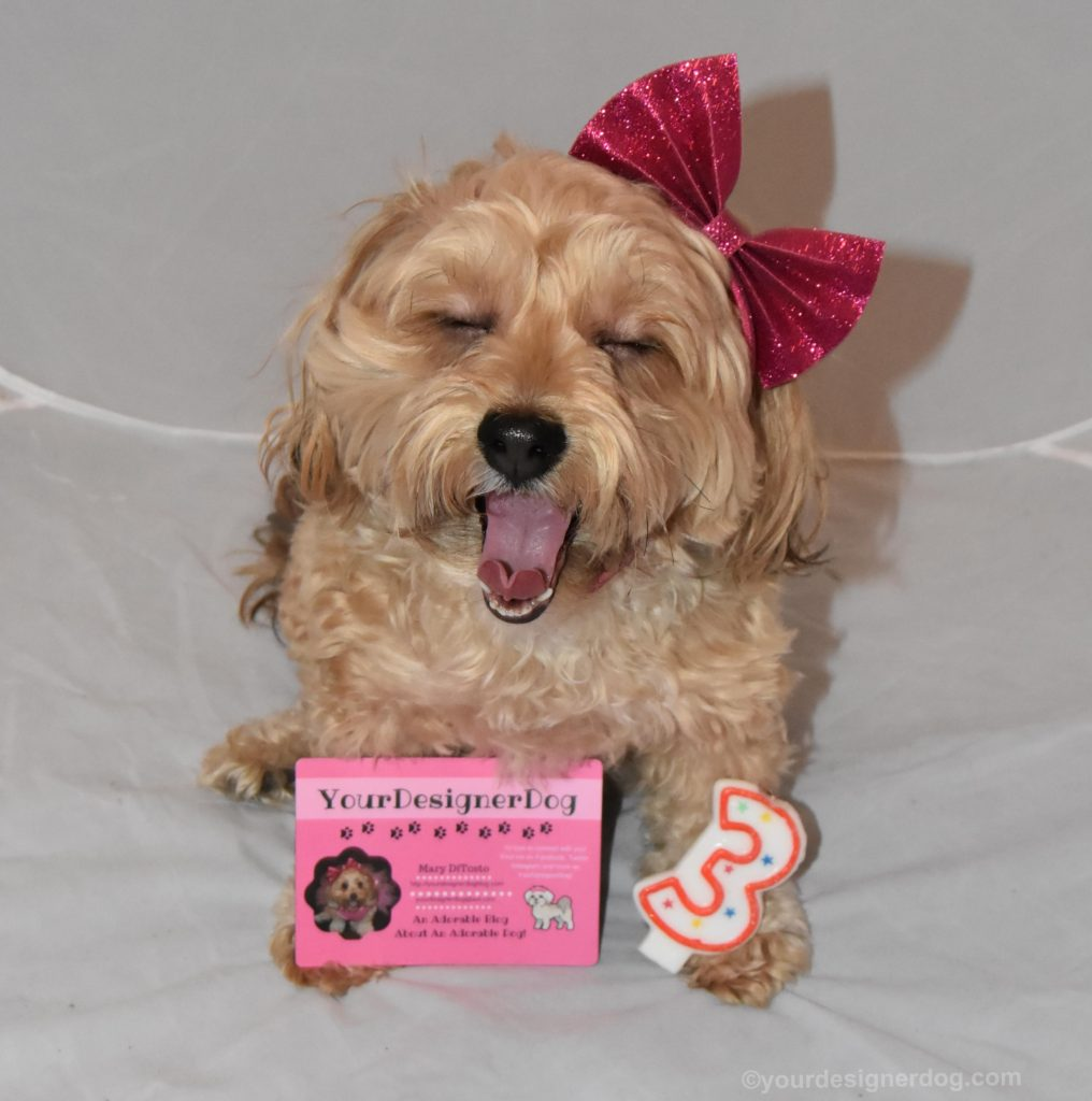 dogs, designer dogs, Yorkipoo, yorkie poo, tongue out, blogiversary