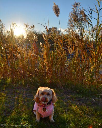 dogs, designer dogs, Yorkipoo, yorkie poo, backlighting, amber waves of grain
