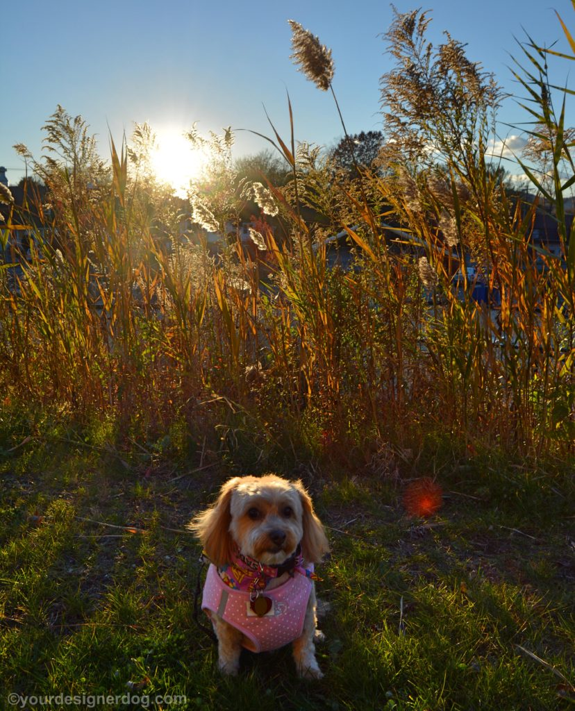 dogs, designer dogs, Yorkipoo, yorkie poo, backlighting, amber waves of grain