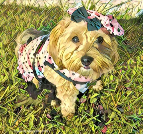 dogs, designer dogs, Yorkipoo, yorkie poo, dog dress, dog hat, digital art, pet portrait
