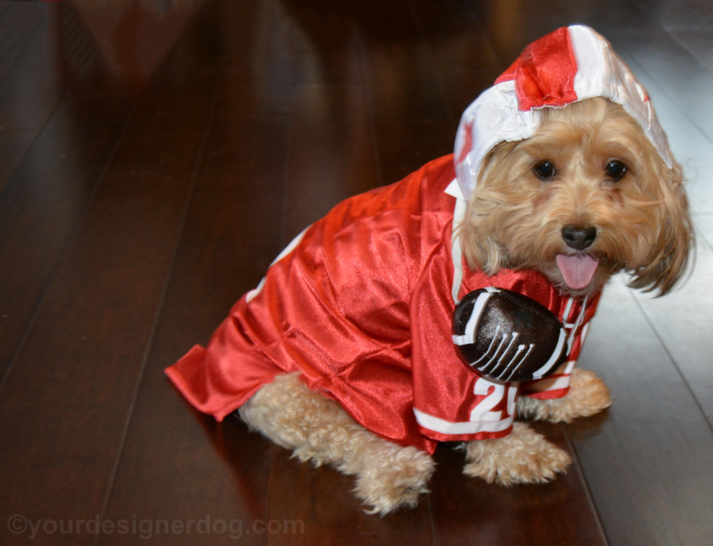 dogs, designer dogs, Yorkipoo, yorkie poo, football, dog costume, tongue out, Super Bowl