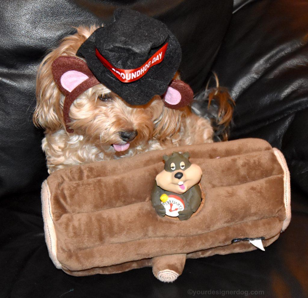 dogs, designer dogs, Yorkipoo, yorkie poo, groundhog toy, Groundhog Day