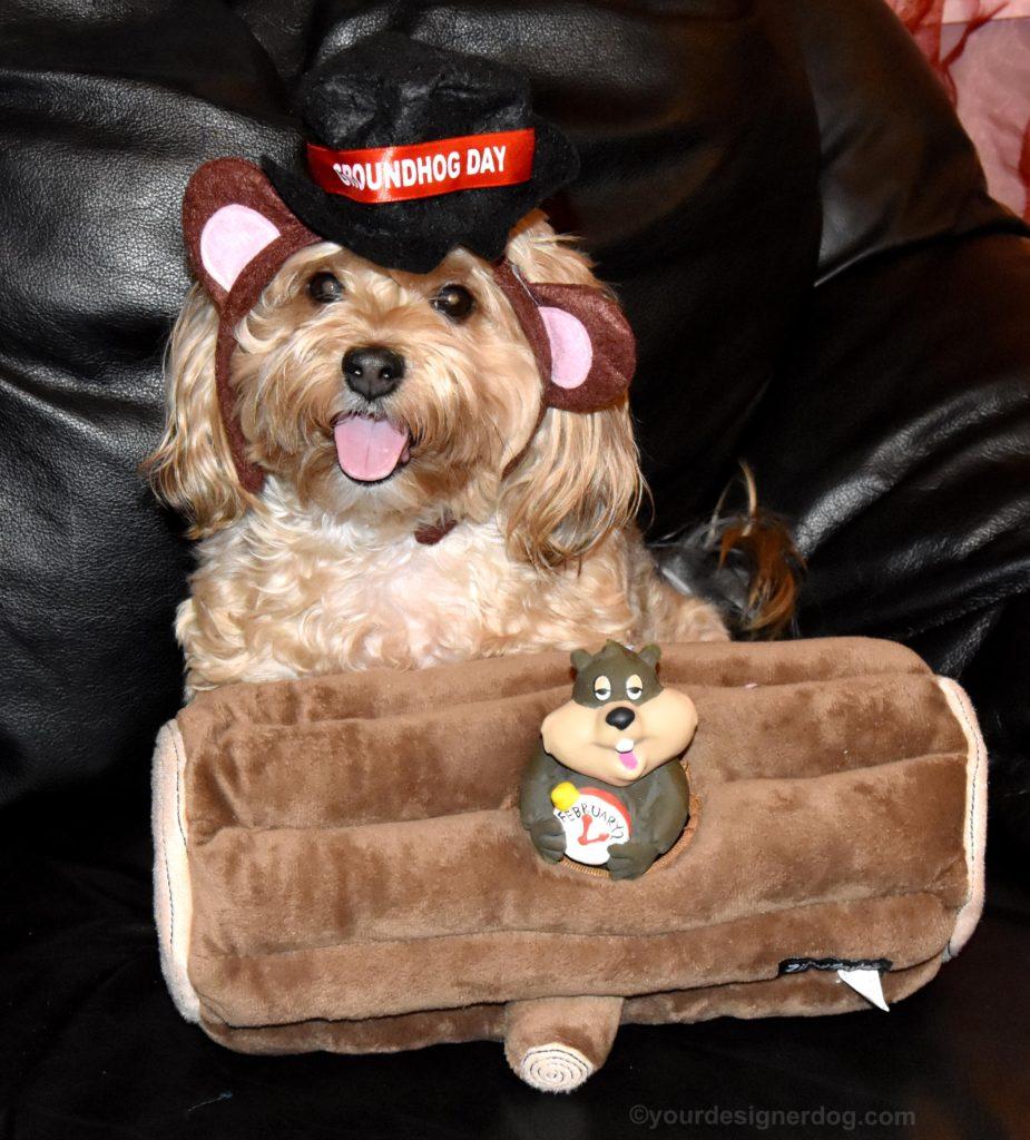 dogs, designer dogs, Yorkipoo, yorkie poo, groundhog toy, Groundhog q