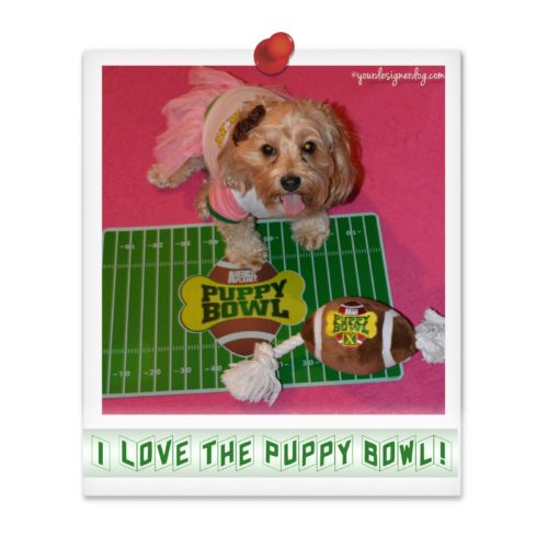 dogs, designer dogs, Yorkipoo, yorkie poo, cheerleader, Puppy Bowl, tongue out