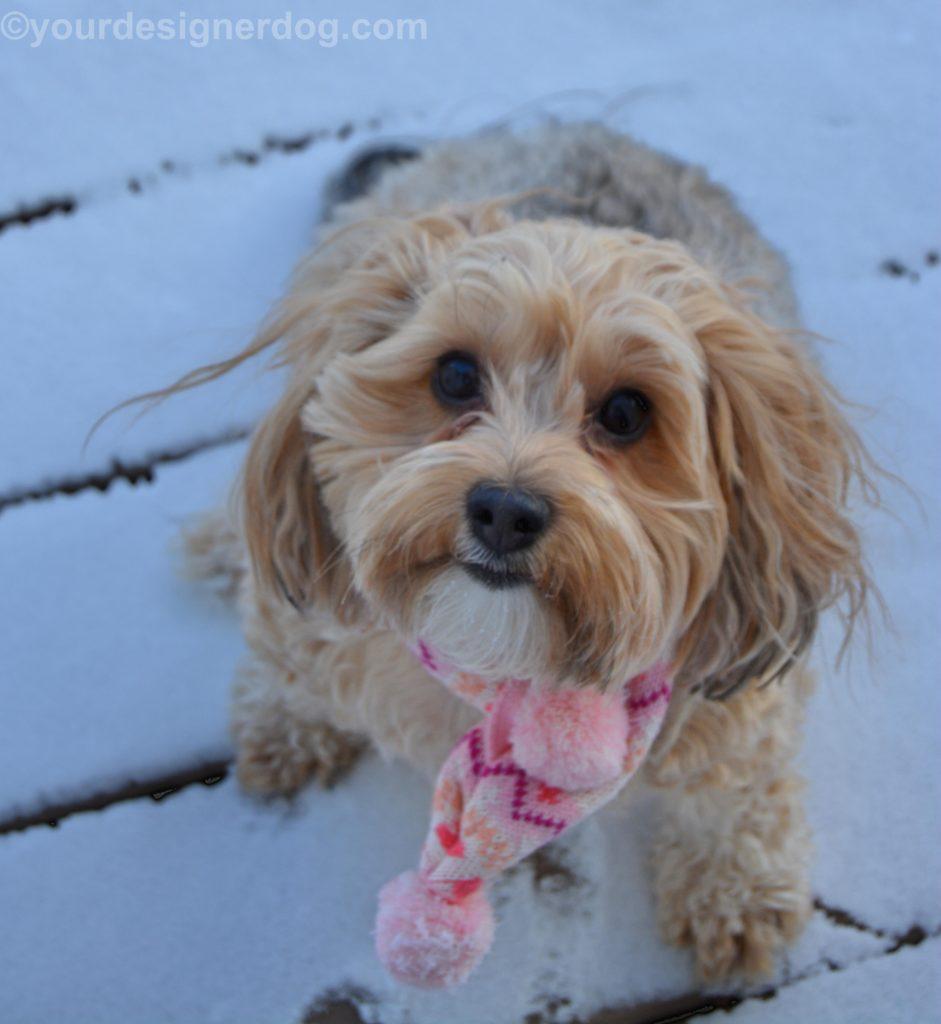 dogs, designer dogs, Yorkipoo, yorkie poo, winter, snow, scarf, selfie