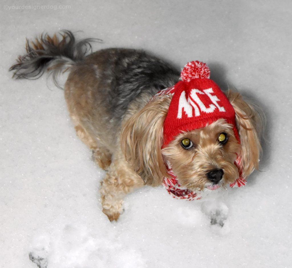 dogs, designer dogs, Yorkipoo, yorkie poo, winter, snow, pompom hat, snow hat, selfie