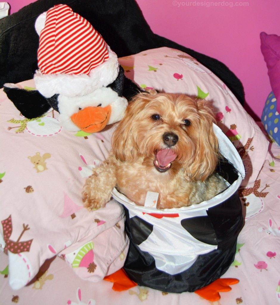dogs, designer dogs, Yorkipoo, yorkie poo, tongue out, penguin