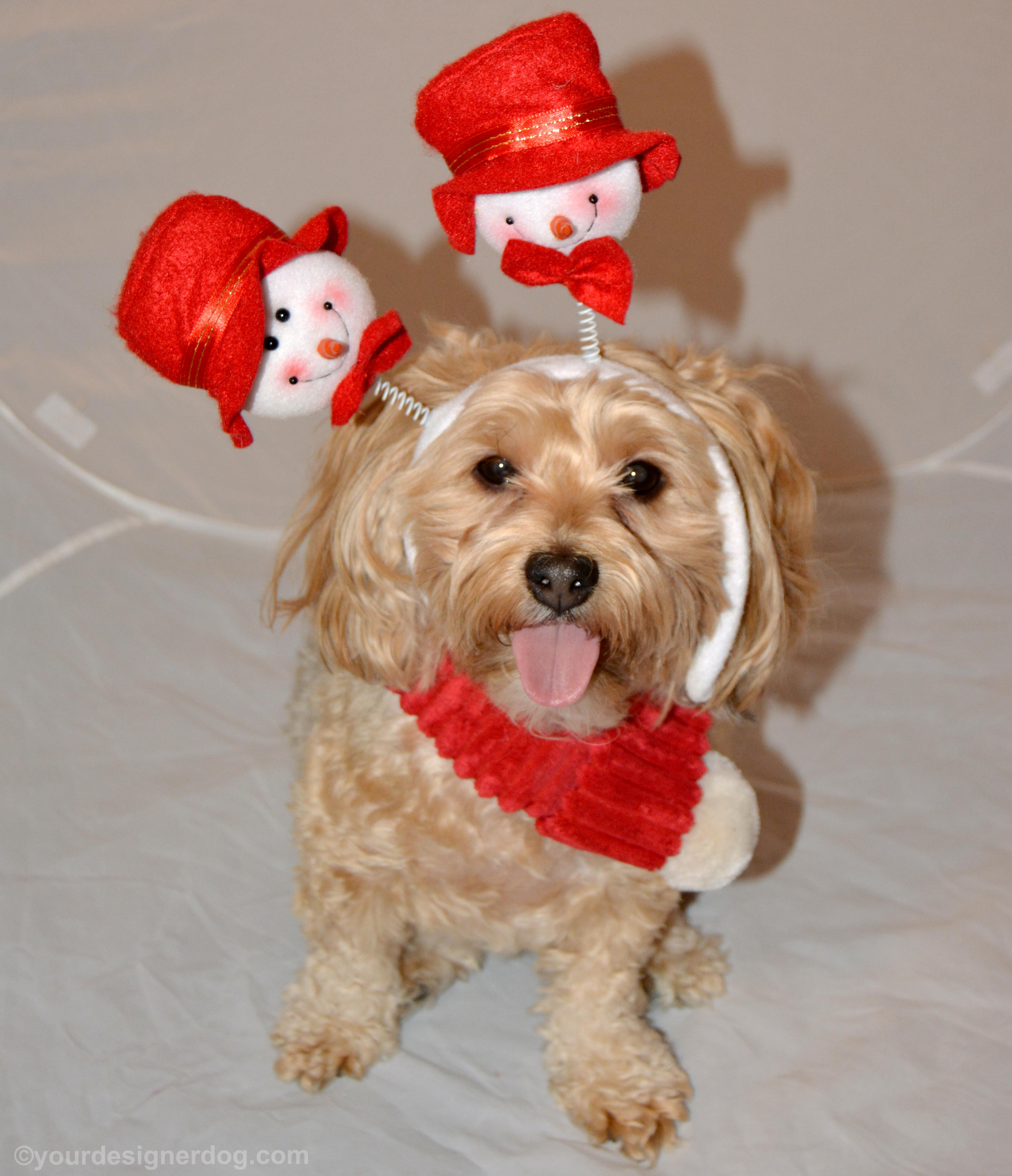 dogs, designer dogs, Yorkipoo, yorkie poo, snowman, winter, tongue out, scarf, snowman headband