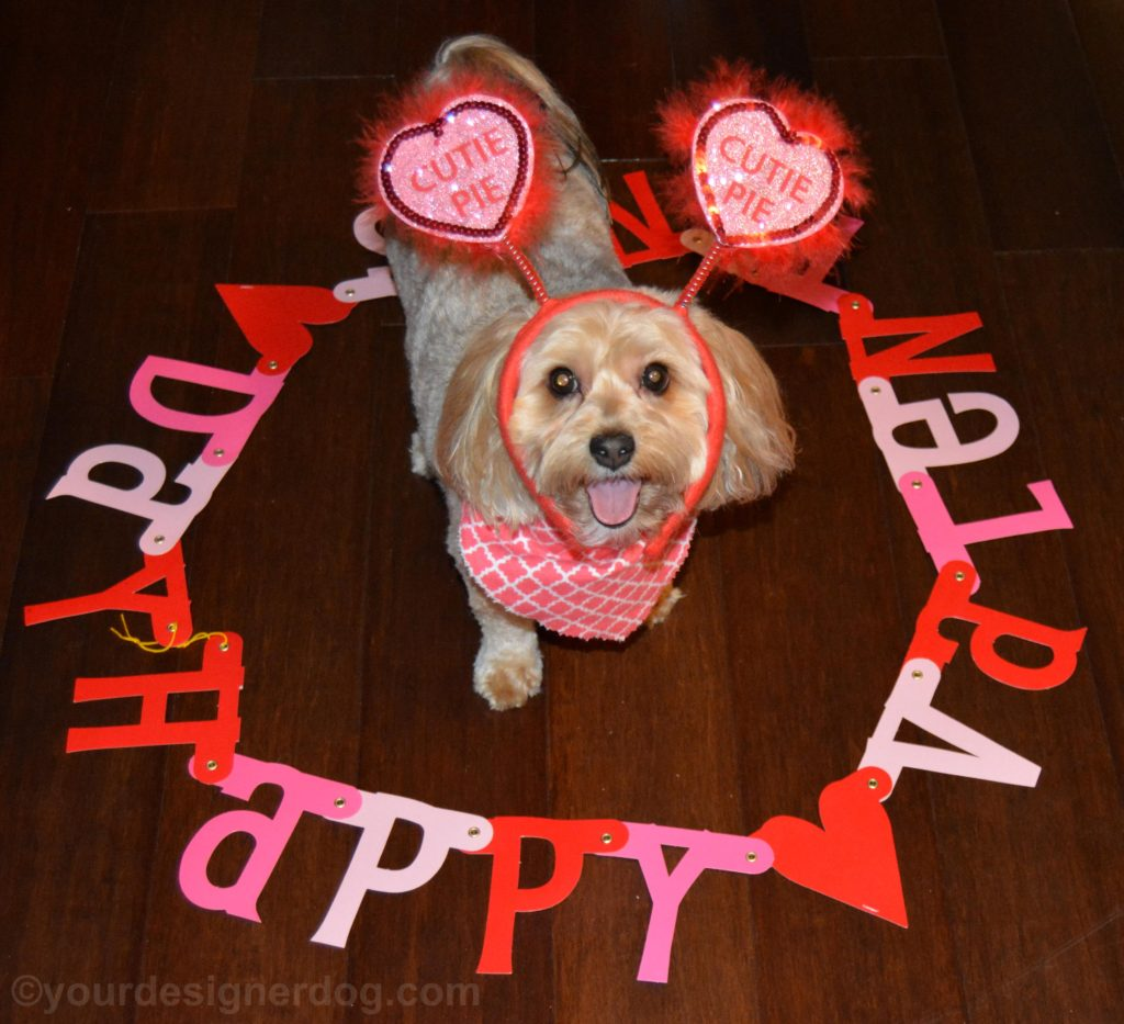 dogs, designer dogs, Yorkipoo, yorkie poo, valentine's day, puppy kisses, cutie pie, holiday, tongue out