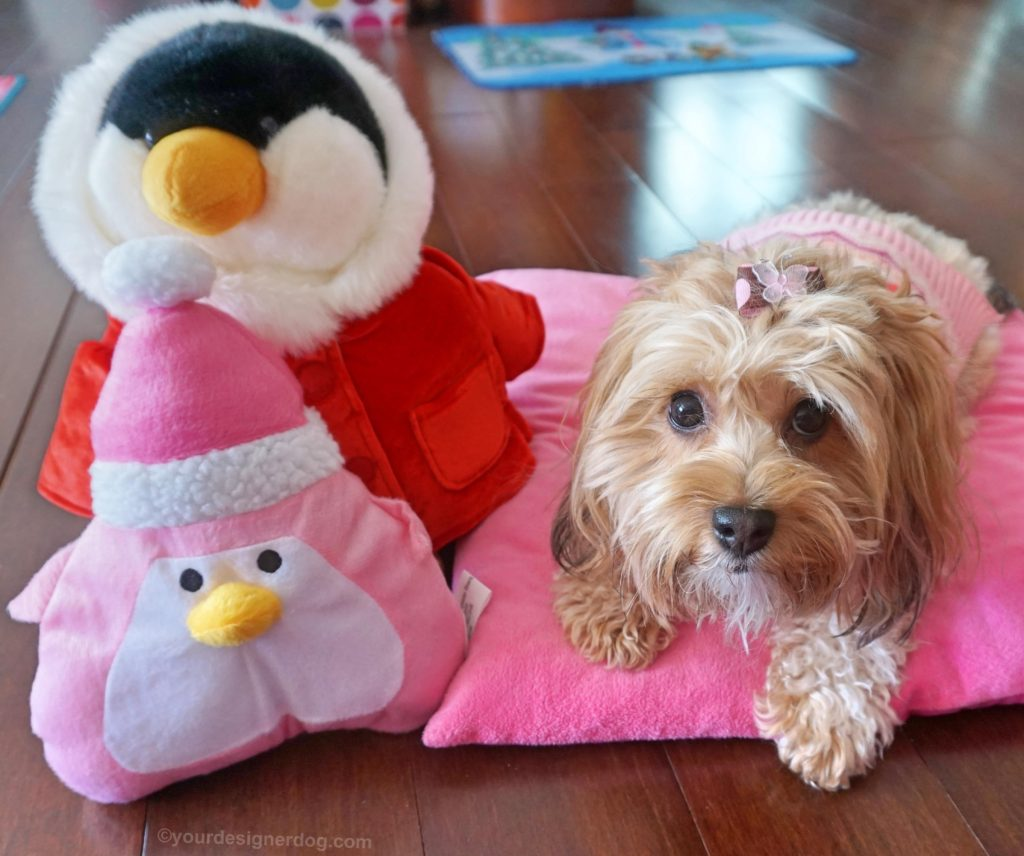 dogs, designer dogs, Yorkipoo, yorkie poo, penguins, dog sweater, dog bow, winter
