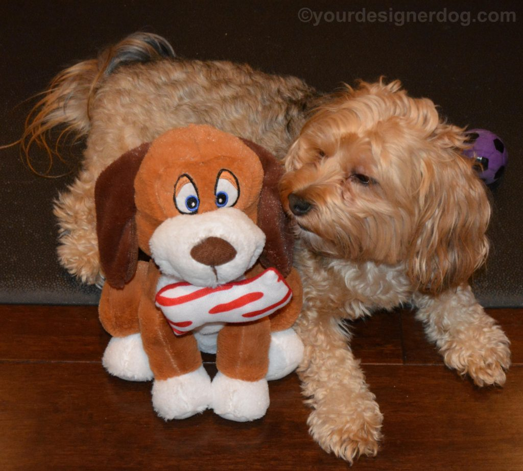 dogs, designer dogs, Yorkipoo, yorkie poo, bacon, dog smiling, stuffed dog