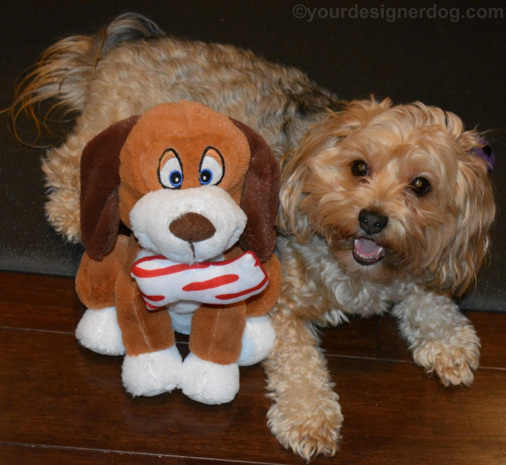 dogs, designer dogs, Yorkipoo, yorkie poo, bacon, dog smiling, stuffed dog