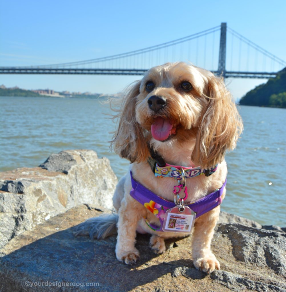 dogs, designer dogs, Yorkipoo, yorkie poo, gwb, george washington bridge