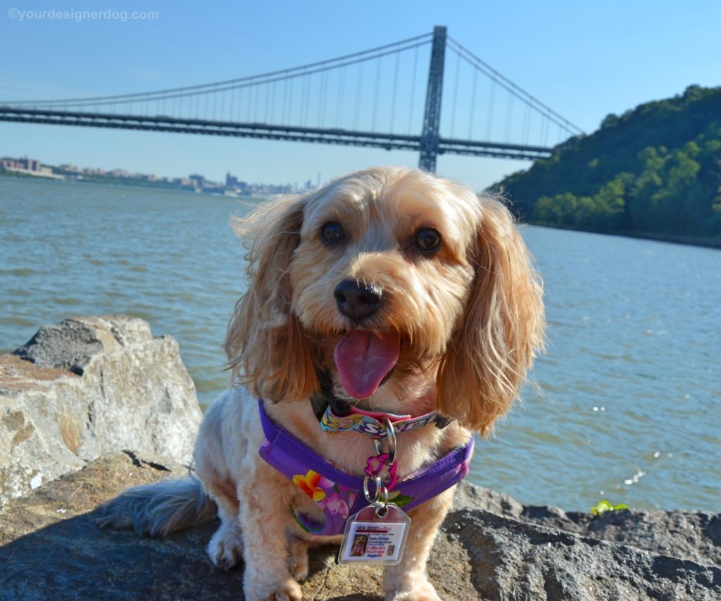 dogs, designer dogs, Yorkipoo, yorkie poo, gwb, george washinton bridge