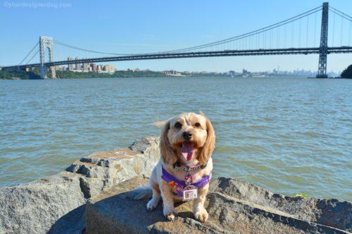 dogs, designer dogs, Yorkipoo, yorkie poo, gwb, george washington bridge