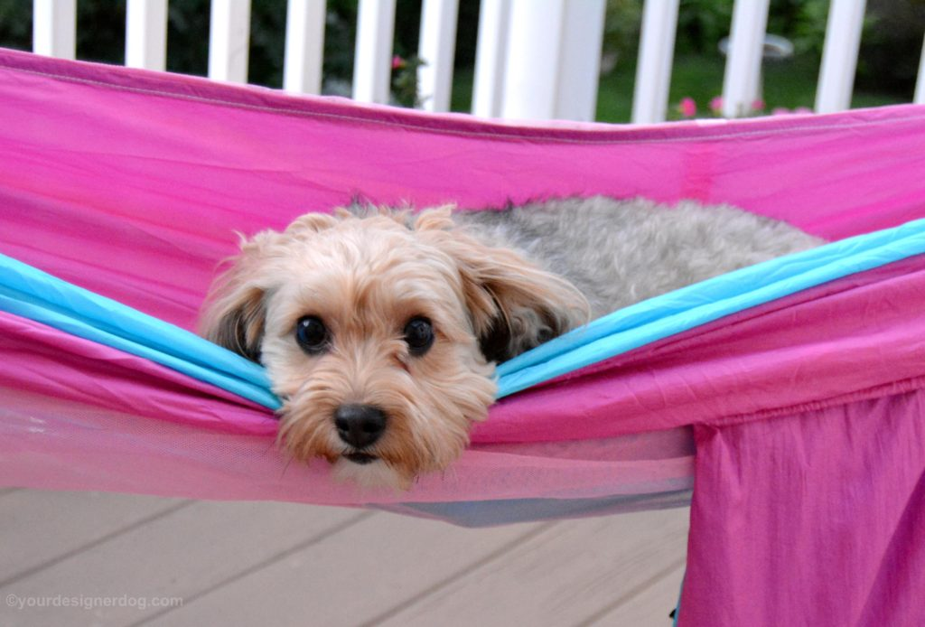 dogs, designer dogs, Yorkipoo, yorkie poo, hammock