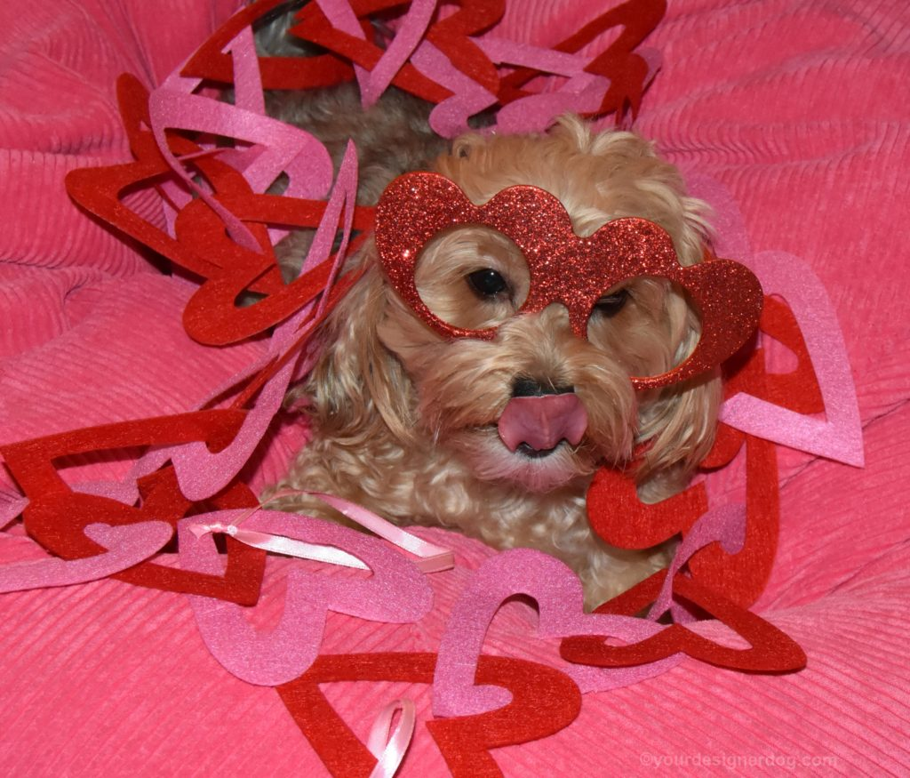 dogs, designer dogs, Yorkipoo, yorkie poo, hearts, love your pet day