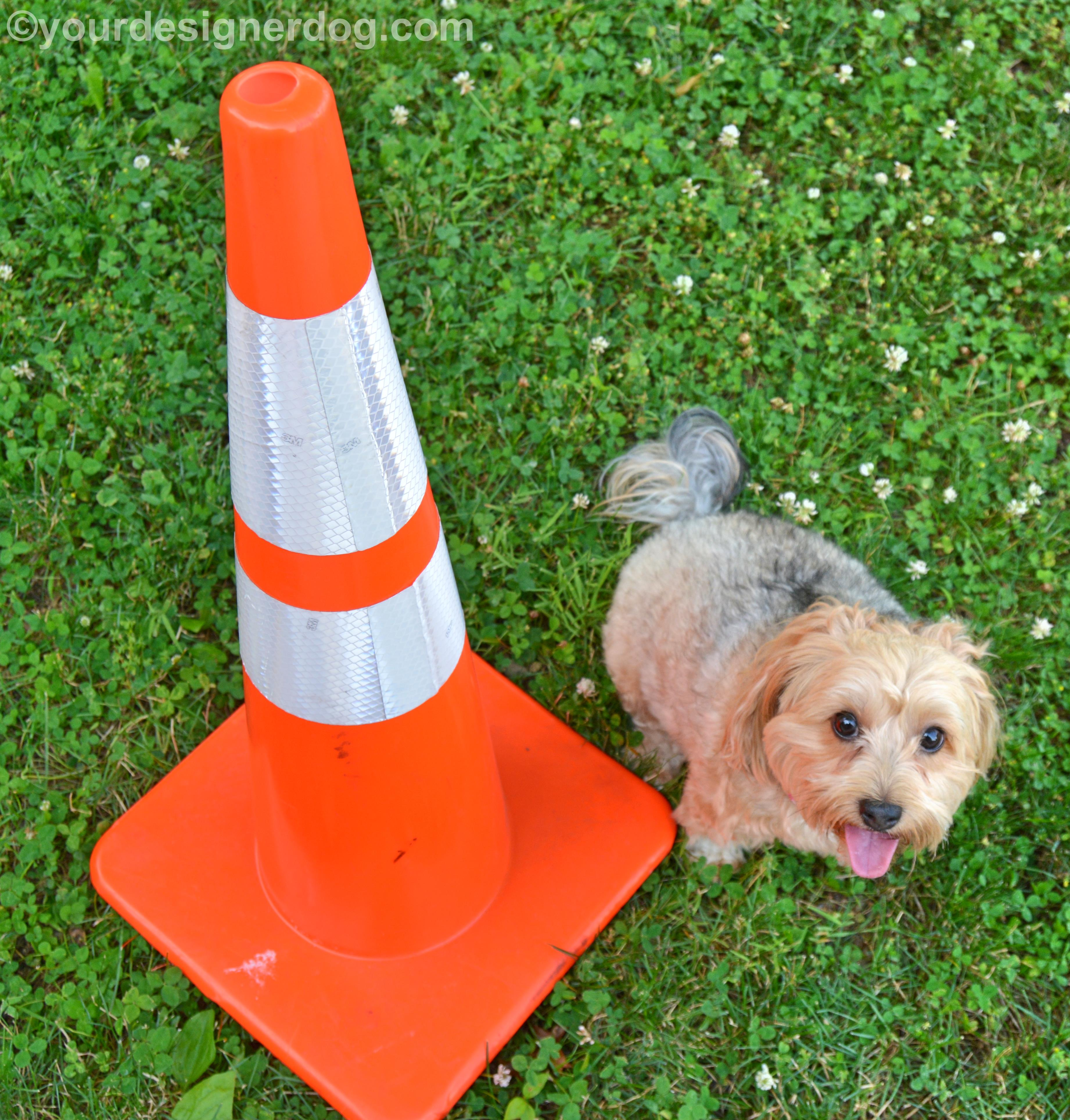 dogs, designer dogs, Yorkipoo, yorkie poo, traffic cone, tongue out, dog smiling