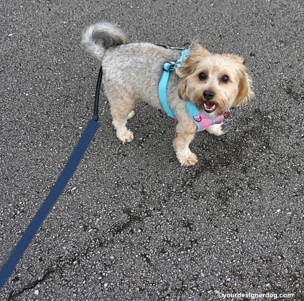 dogs, designer dogs, Yorkipoo, yorkie poo, dog smiling, dog selfie, end of the leash