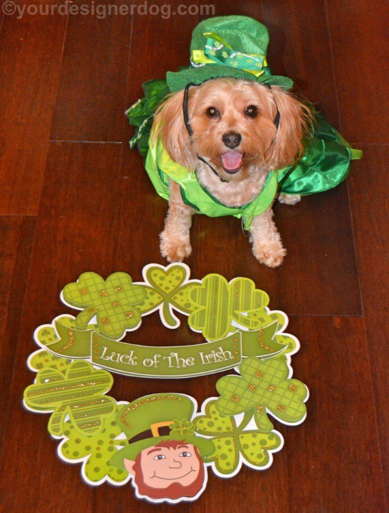 dogs, designer dogs, Yorkipoo, yorkie poo, irish, St. Patrick's Day, leprechaun