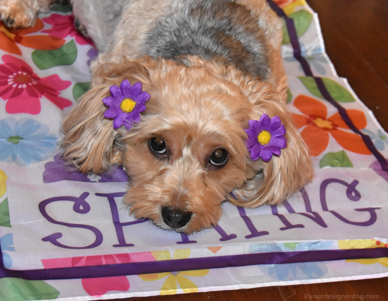 dogs, designer dogs, Yorkipoo, yorkie poo, spring, garden flag, dog smiling