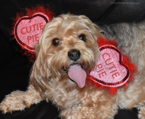 dogs, designer dogs, Yorkipoo, yorkie poo, Pi Day, cutie pie, tongue out