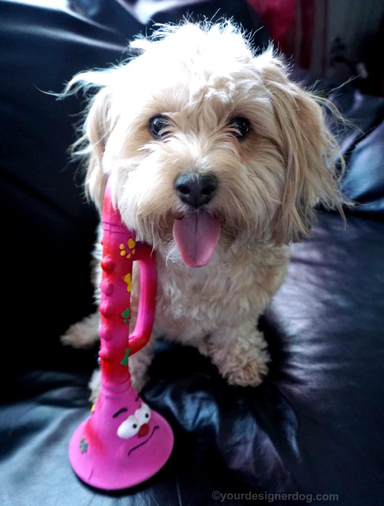 dogs, designer dogs, Yorkipoo, yorkie poo, tongue out, dog toy, squeaky toy, trumpet